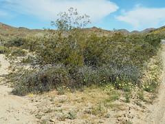 Q3266917 Joshua Tree National Park Wilson Canyon plants (ceztom) Tags: march 26 2017 wilsoncanyon whitetank joshuatree nationalpark