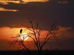 Marabout dans son arbre, coucher du soleil (mariepascale mapa) Tags: marabout arbre oiseau coucher soleil kenya afrique masai mara ciel nature animal olympus safari sauvage