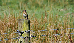 Song Thrush on a Post - Brockholes.