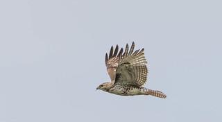 Buse à queue rousse Juvénile  -  Red tailed Hawk