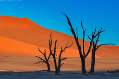 Surreal Places (Jirawatfoto) Tags: namibia deadvlei sossusvlei dead africa park national camelthorn vlei red desert travel sand blue dune sky namib natural landscape tourism scenery famous african dry clay sunlight pan acacia beautiful trees namibnaukluft naukluft nature tree orange outdoor day arid