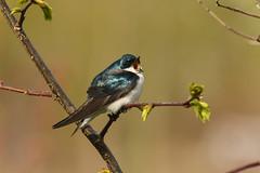 Tree Swallow (Rob E Twoo) Tags: swallow birding wildlife nature tree outdoor adventure explore naturaleza