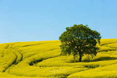 rap seed fields and the lonely tree (Pastel Frames Photography) Tags: fields rapseed tree nature colour canon5dmark3 canon 70200 mm yellow blue green shapes landscapephotography