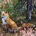 Hungry Mama Fox