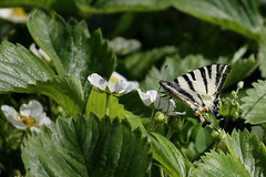 Strawberries and butterfly (superhic) Tags: strawberries jagode butterfly leptir spring proleće macro bokeh flower strawberryflower 2017