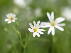 White Woods (christinaobermaier) Tags: stellaria holosta echte sternmiere wald starwart chickweed makro flower spring frühling green lush