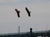 Pamban Bridge, Rameswaram (RossCunningham183) Tags: pambanbridge rameswaram india southindia tamilnadu fisherman birds kites bird brahminykite synchronized