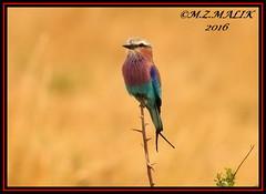 LILAC - BREASTED ROLLER (Coracias caudata).....MASAI MARA......SEPT 2016 (M Z Malik) Tags: nikon d3x 200400mm14afs kenya africa safari wildlife masaimara keekoroklodge exoticafricanwildlife exoticafricanbirds ngc npc