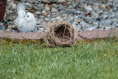 Robins Nest (Photos_By George) Tags: nests birds americanrobins