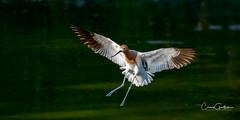 Graceful II (craig goettsch) Tags: hendersonbirdviewingpreserve2017 avocet bif flying bird avian animal nature wildlife nikon d500