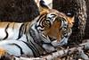 T39 Noor Portrait (Adam Masterton) Tags: india rajasthan ranthambhore tiger tigress national park wildlife wildlifephotography wildlifeaddict wild stripes nature naturephotography naturelovers naturelust conservation photooftheday portrait