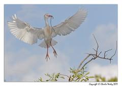 Mine (wesjr50) Tags: birds birdsinflight cattleegret wadingbirds nests trees avian canon 7d mk ii canonef100400mmf4556iszoom mk11 photoshopcc dxoopticspro staugustinealligatorfarm rookery behavior