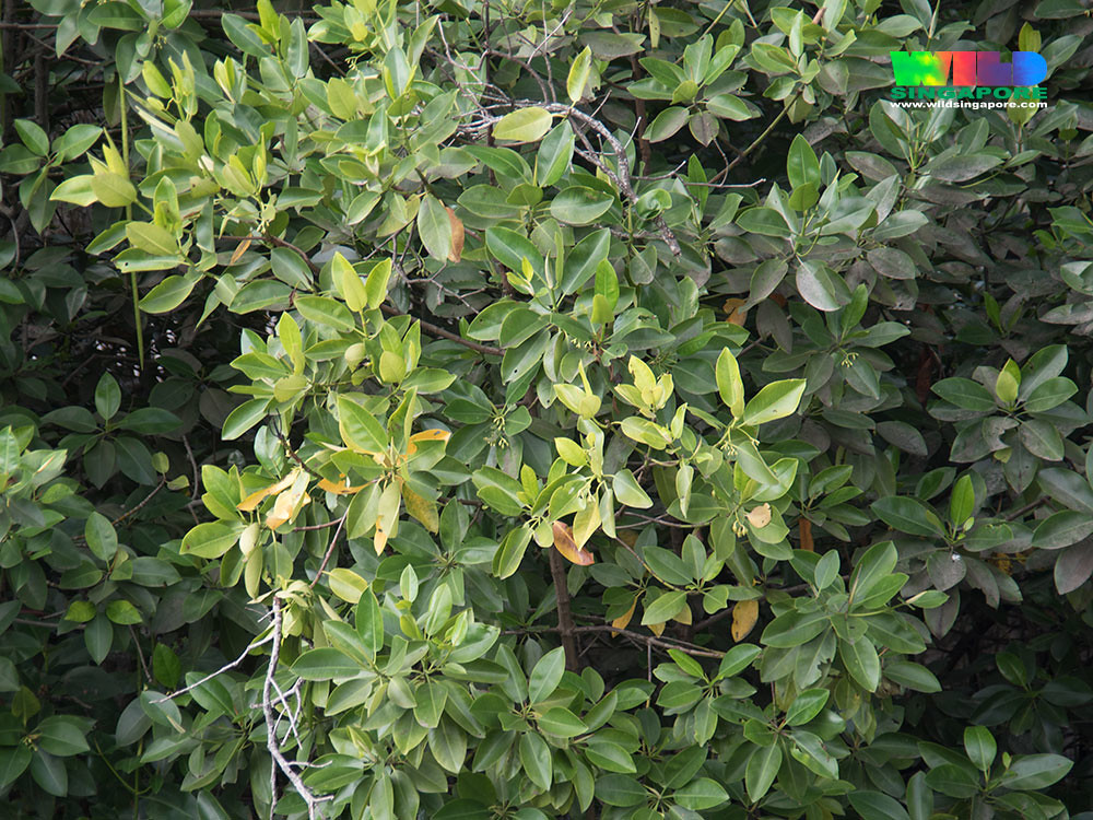 sojourners thought and mangrove island Identifications of common and unusual plants and trees found in florida.