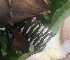 ecosystem/flora/Wild Plantain(Ensete superbum) (biodiversity western ghats) Tags: musaceae herb floraindia diversityindia