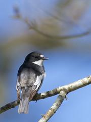 Pied Flycatcher (J J McHale) Tags: pied flycatcher piedflycatcher ficedulahypoleuca scotland highlands nature wildlife