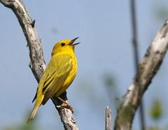 Yellow Warbler (Peter Simpson) Tags: yellowwarbler britannia ottawa canon f4