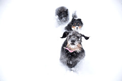DSC_5062 (s_hallman55) Tags: snow winter fun dogs canine faces animals family cold