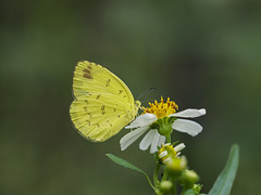 Female Eurema blanda (Green Baron Pro) Tags: 201705 vp butterfly pieridae coliadinae