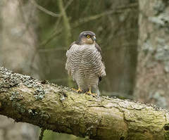 Sparrowhawk (xDigital-Dreamsx) Tags: sparrowhawk sparrow bird nature wildlife birdofprey hawk hunter prey predator forest woodland woods intothewoods