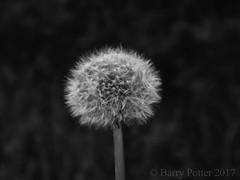 Dandelion (Blowball) (Barry Potter (EdenMedia)) Tags: barrypotter edenmedia canon eos m5 taraxacum dandelion blowball