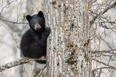 Willow River Yearling Black Bear (Jeff Dyck) Tags: black bear blackbear ursusamericanus willowriver britishcolumbia bc tree treed jeffdyck