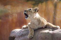 Skies full of wonders | Berberlöwenkind - barbary lion cub ( Panthera leo leo ) (MissGarfield) Tags: canoneos5dmarkiii isabellejordans zooneuwied wwwzooneuwiedde barbarylion lioncub lion löwe berberlöwe tessy löwenkind catcontent bigcats