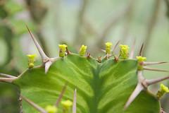 Euphorbia grandicornis (nitedojo) Tags: nitedojo kakteenhaage openday euphorbia grandicornis