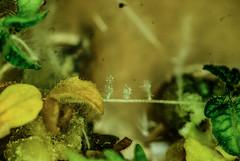DSC03523 (a_o.i) Tags: invitro culture plants nicotiana tabacum tobacco anther pollen germination regeneration pistil institut recherche biologie végétale biology plant university montreal macro agriculture research science lab biotechnology haploid agar test tubes petri dish genetics gmo tomato lris experiment