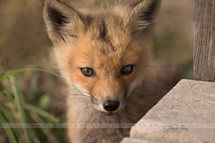 Fox kit - explore (betty wiley) Tags: fox kit mammal wildlife nature bettywileyphotography provincetown capecod baby juvenile red