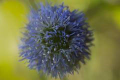 Fleur sauvage (Doriane Boilly Photographie Nature) Tags: bleu jardin prairie couleur champs nature faune flore