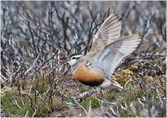 Dotterel (Antony Ward) Tags: dotterel danbybeacon northyorkshiremoors birds