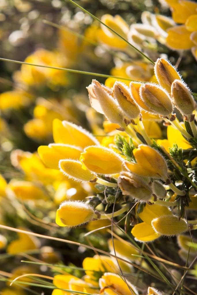 cotoya tojo david al tags asturias cabopeas tojo cotoya flor flores