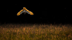 Evening Glow (Phil Selby) Tags: shortearedowl wiltshire birdofprey seo spring rimlight backlit