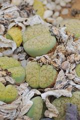 _DSC0032.ppm (nitedojo) Tags: nitedojo haage openday lithops livingstone