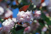 that sweet flower of love (1crzqbn) Tags: bokeh dof lensbaby depthoffield sliderssunday cherry naturaleza mothersday teextrañotantomami♥ pickyourfavebokehballd sunlight sunshine