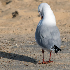 My! What a handsome shadow. (OzzRod) Tags: pentax k1 sigma120400mmf4556 birds gull silvergull preening beach merewether newcastle