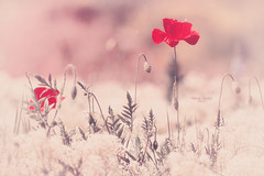 """""""Whenever I want you all I have to do is dream...."""" (Ilargia64) Tags: dream nature poppy softcolors field pink bokeh campodeamapolas beauty amayasanchez"""