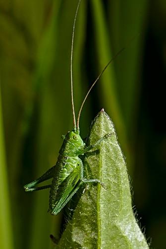 Green bush cricket