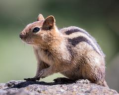 Golden-mantled Ground Squirrel (Becky Matsubara) Tags: goldenmantledgroundsquirrel grasslake callospermophiluslateralis groundsquirrel squirrel mammal chipmunk nature outdoors wildlife