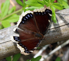 Mourning Cloak Butterfly (TomIrwinDigital) Tags: dundas ontario canada rbgblooms cootesparadise
