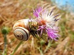 """""""Chip"""" and """"Chip"""" (M. Carpentier) Tags: macromondays chips chip macro snail escargot flower fleur"""