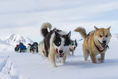 passionate runners (Markus Trienke) Tags: greenland eastgreenland travel dog dogs dogsledding mushing winter cold ice frozen snow running expededition adventure canon eos 5d mkiv arctic passion inuit fjord