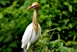 _DSC0040 Cattle Egret