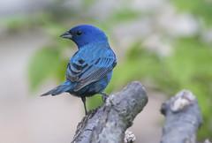 Indigo Bunting (Hockey.Lover) Tags: indigobunting birds texas2017 spiconventioncenter explore