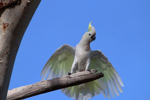 Sulphur-Crested cockatoo 3 by Dan Armbrust, on Flickr