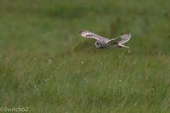Schotland 2017-30 (Switch62) Tags: scotland 2017 mull velduil short eared owl