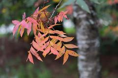 IMG_3193a (ManFromOz) Tags: ©geoffsmith gemaxphotographics autumn blackheath bluemountains autumnleaves
