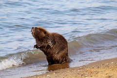 Surf's Up! (Piedmont Fossil) Tags: sandypoint state park maryland chesapeake bay beaver mammal wildlife