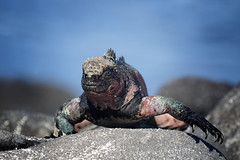 Marine Iguana (Emma Pollock - Photos) Tags: iguana espanola galapagos galapagosislands lizard reptile blue summer crawl crawling 7d mark ii canon 100400mm f56 holiday sail tour