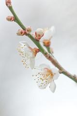 Japanese ume blossom (Yam@chan) Tags: japan nara tsukigase ume blossom plum grove 90mm f28 tamron